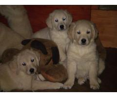 Продаем щенков голден-ретривер,с хорошей родословной от здоровых родителей,чимпионов РКФ клуба